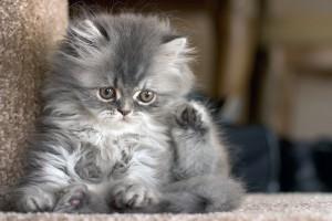 bigstock-Kitten-83836