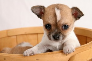 bigstock-Pop-up-Puppy-202694